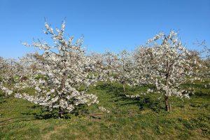 Blüte der Kirschsorte Regina