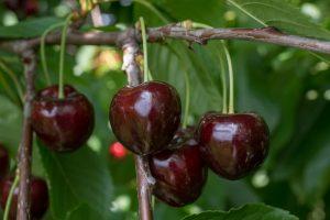 Kirschsorte Kordia am Baum